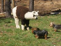 Lil' Patch of Heaven Alpacas and Sassywag's Silky Terriers